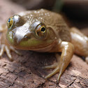Bullfrog (female)