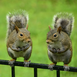 Sunday morning meeting! by Brenda Reed Buehler - Animals Other ( fence, animals, yard, wildlife, summer, garden, squirrel )