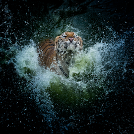 Splash by Pimpin Nagawan - Animals Lions, Tigers & Big Cats