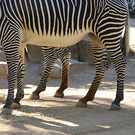 So, This Is A Hexad! by Ed Hanson - Animals Other ( zoo, white, legs, zebra, black )