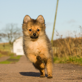 LETS GO  by Michael Sweeney - Animals - Dogs Running ( farm, scotland, nikond800, pomerainan, spronting, puppy, michael m sweeney, nikon, dog, running, hugo pomerainan )