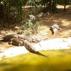 Crocodiles at Mysore Zoo by Swapnil Solanki - Animals Sea Creatures ( crocodile, mysore zoo )