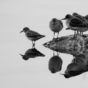 Sandpipers Rest by Jamie Boyce - Animals Birds ( reflection, animals, challenge, b&w, nature, black and white, florida, wildlife, birds, animal,  )