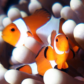Clownfish by Carlien Oberholzer - Animals Sea Creatures