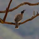 Friarbird