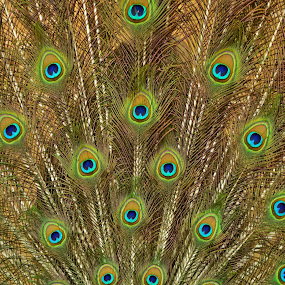 Peacock's Feathers. by Arsalan Sandhila - Artistic Objects Still Life