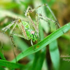 Green Lynx Spider(Female)