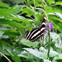 The Zebra Longwing