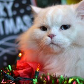 Merry Christmas by Janet Buddington - Animals - Cats Portraits ( cindy, christmas scene, blue eyes, white kitty,  )