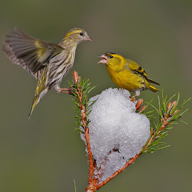 Siskin (Carduelis spinus) by Jose Macedo - Animals Birds