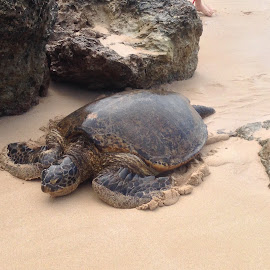 Giant Green Turtle Oahu by Dawn Simpson - Animals Amphibians ( green turtle, sea, amphibians, oahu, giant,  )