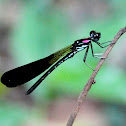Black damsefly.