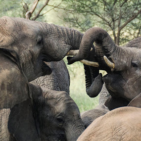 Let's play by Gene Myers - Animals Other Mammals ( playing, elephants, adolescent, color, tusks, tanzania, gene myers,  )