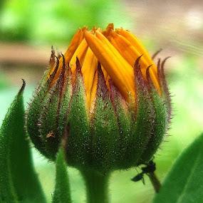 by Nena Dankić - Flowers Flower Buds