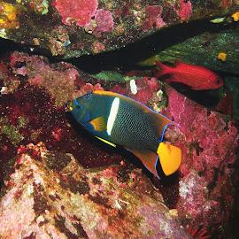 King Angelfish by Phil Bear - Animals Fish ( fish, galapagos, angelfish )