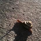 Grove Snail