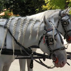 by Zlatko Gašpar - Animals Horses