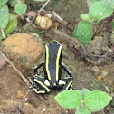 Yellow-striped Poison Frog