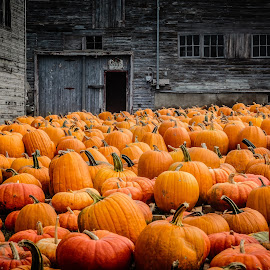 Vermont Pumpkins by David Long - City,  Street & Park  Markets & Shops ( stowe, pumpkins, vermont )
