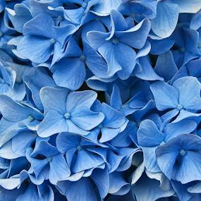 Blue Hydrangea by Rita Colantonio - Flowers Single Flower ( blue flower, macro image, hydrangea, cape cod flower )