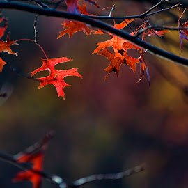 Last Leaves by Pete Bobb - Nature Up Close Trees & Bushes ( tree, autumn, oak, branch, leaves,  )
