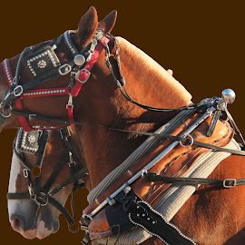 WE MAKE A GREAT TEAM by Barbara Craven - Animals Horses ( farm, clydsdale, heavy-duty, horses, harness, team, portrait, competition )