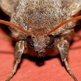 I Am Moth by Elyzabeth Krajewski - Animals Insects & Spiders ( nature up close moths insects macro,  )