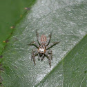 Dimorphic Jumping Spider