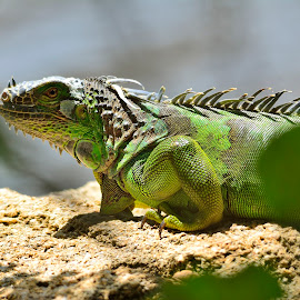 by Terry Barker - Animals Reptiles (  )