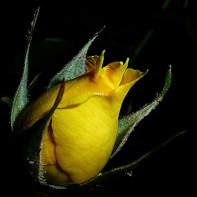 Yellow Bud by Vanalapha Chuasritrakul - Flowers Flower Buds (  )