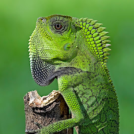 Foret Dragon by Kurito Afsheen - Animals Reptiles ( canon, macro, lizard, indonesia, stage, animal,  )