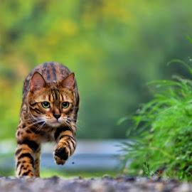 by Jane Bjerkli - Animals - Cats Playing