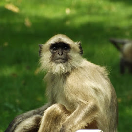 MONKEY by Harsh Babar - Animals Other ( monkey )
