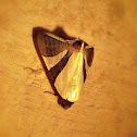 Noctuid Moth.