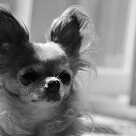 Pixie Dust by Steve Wieseler - Animals - Dogs Portraits ( sparkles, black and white, silhouette, long hair, chihuahua )