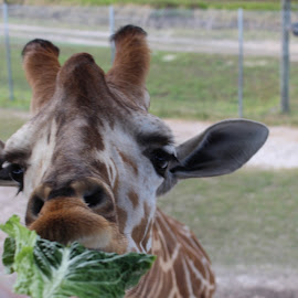 Giraffe Lunch by Katie Krieger - Novices Only Wildlife ( romaine, giraffe, florida, safari, snack )
