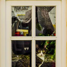 window by Hugo Rebelo - Animals - Cats Portraits