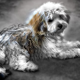 Poopers by Apollo Reyes - Animals - Dogs Portraits ( shaggy, pet, maltipoo, puppy, dog,  )