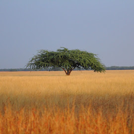 Indian Savannah by Jay Vedant - Landscapes Prairies, Meadows & Fields ( savannah, nature, india, forest, landscape )