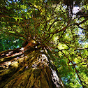 Redwood Tree
