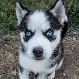 by Samantha Blankenship - Animals - Dogs Puppies ( loki, huskies, husky puppy, blue eyes, husky, leaf )
