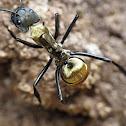 Formiga dourada - Golden ant