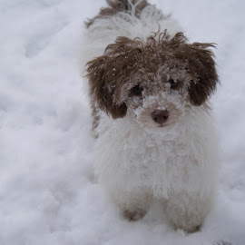 Stella LOVES the snow. by Vickie Harris - Animals - Dogs Puppies