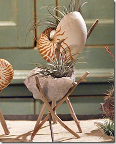 airplant in shell