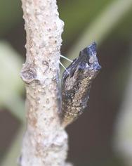 chrysalis 1