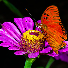 Gulf fritillary on zinnia by David Winchester - Animals Insects & Spiders