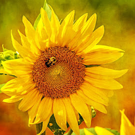 Sunny Bee by Gary McDaniel - Nature Up Close Gardens & Produce ( macro, bugs, bee, outdoors, sunflower, yellow, flowers, garden )