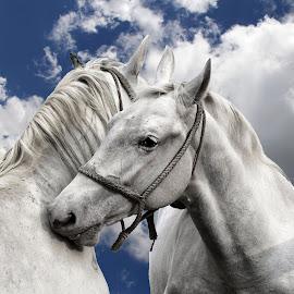 horses  by Renata Arvaj - Animals Horses ( horses )