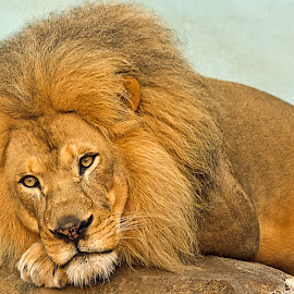 Lazy Lion by Sue Matsunaga - Novices Only Wildlife