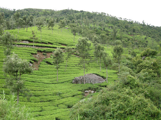 Tea plantations in the blue mountains near Ooty, India, Tamil Nadu (Nilgiri)